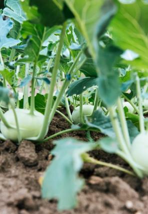 Vegetable Garden - Bush Kidz Child Care Centre Brassall Program